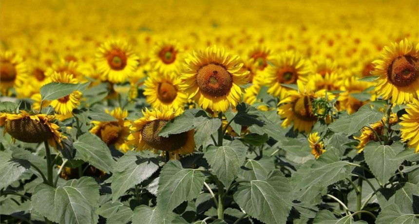 Sigue el recorte de superficie para el girasol